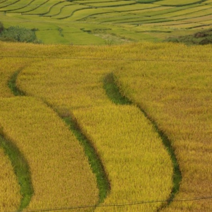 Golden rice fields