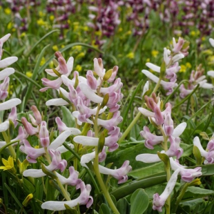 Corydalis ledebouriana (pale form)