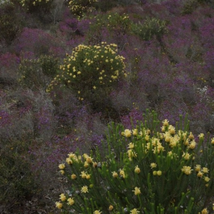 Colourful shrublands, Stirling Range