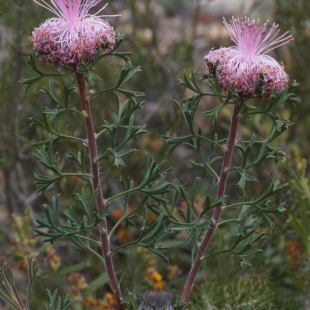 Isopogon sp