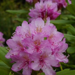 Rhododendron macrophylla
